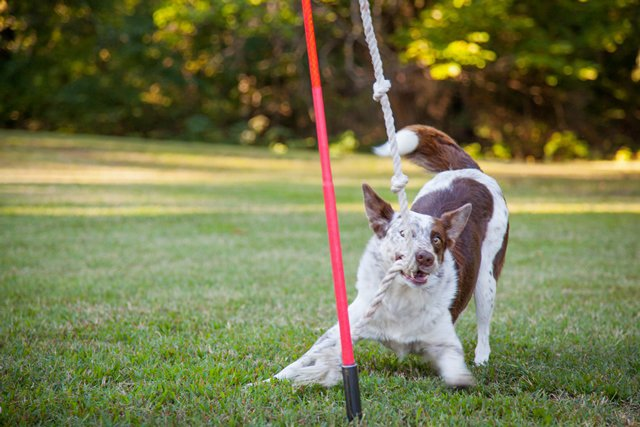Yard Toys For Dogs : Innovative pet gear tether tug