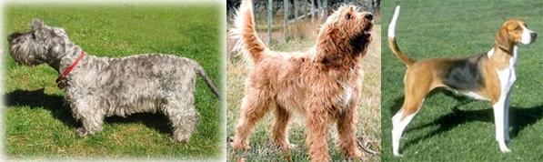 Cesky-Otterhound-AmericanFoxhound